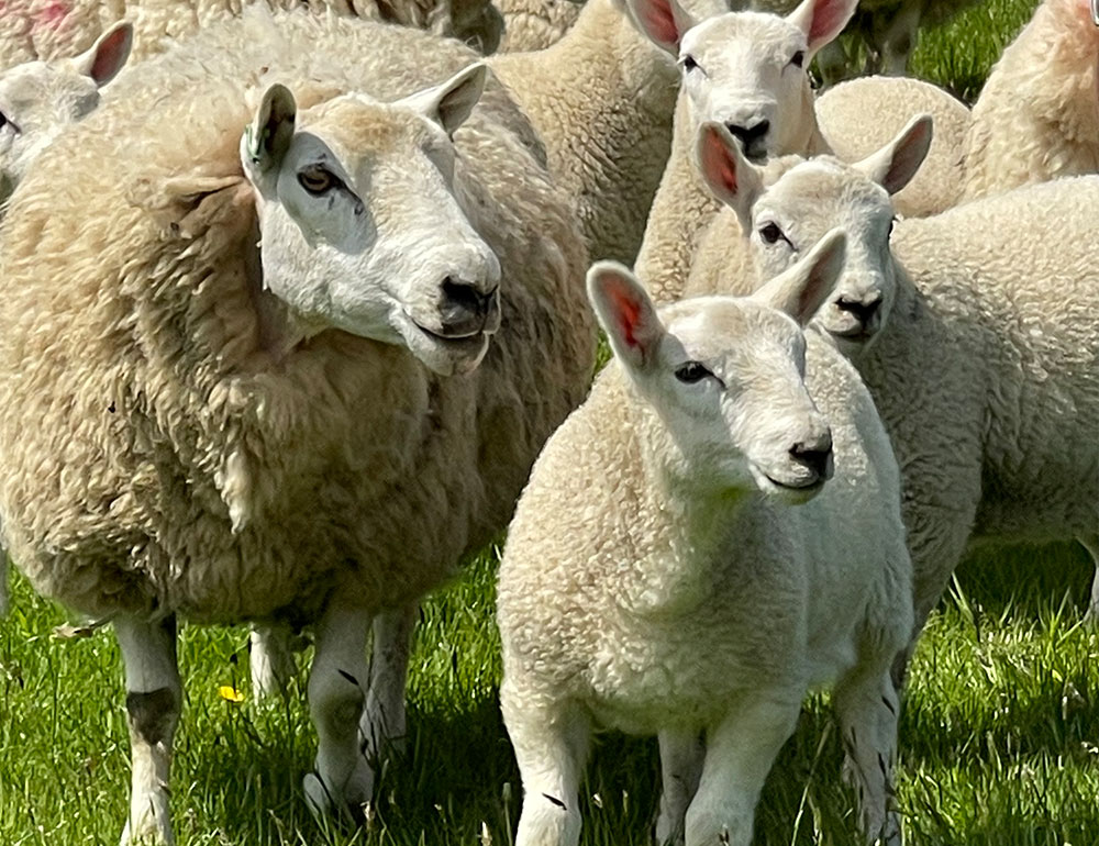 The sheep yarn we use